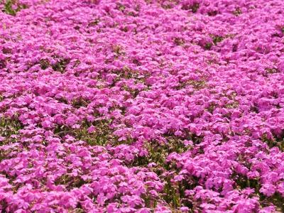 世羅高原芝桜の開花状況と花夢の里へのアクセス